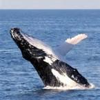 whale breachings